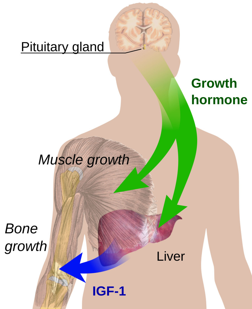 growth hormone regulation in the body